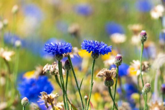 Kornblume: Aussaat, Blütezeit & Verwendung