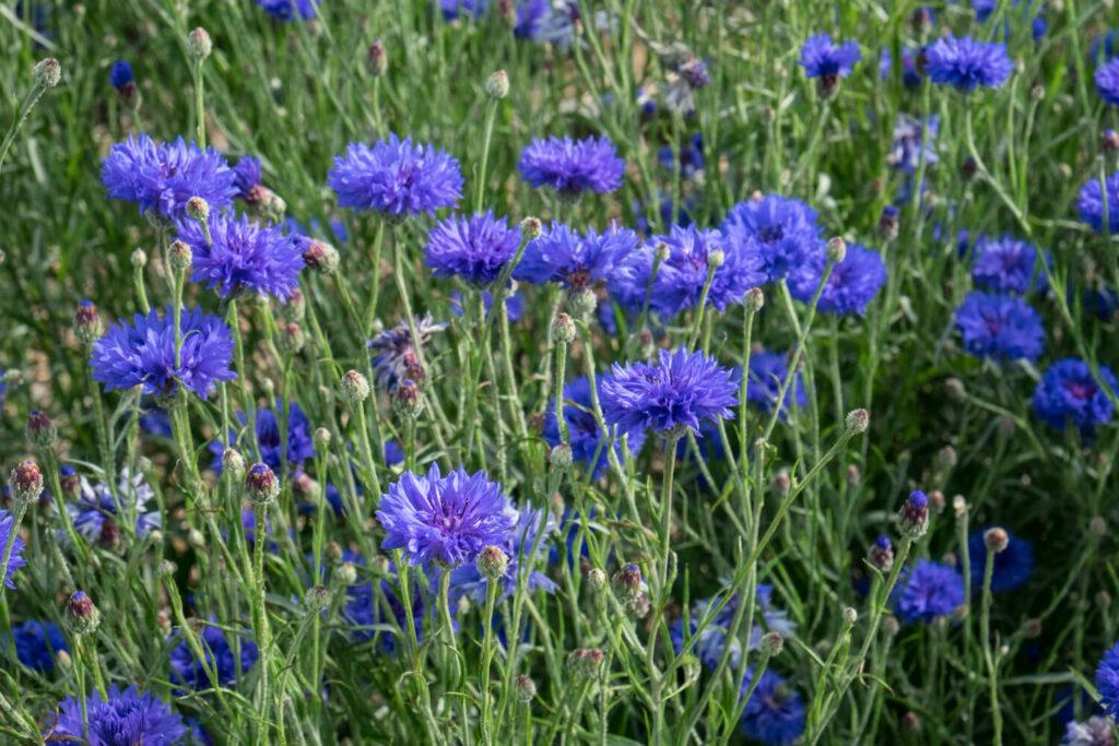 "Cyanus segetum""Blauer Junge"""