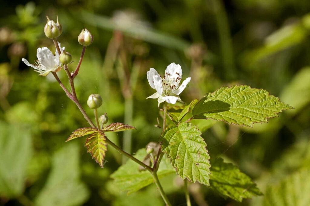 Blüte der Kratzbeere