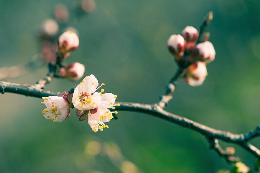 Marillenbaum Blüte