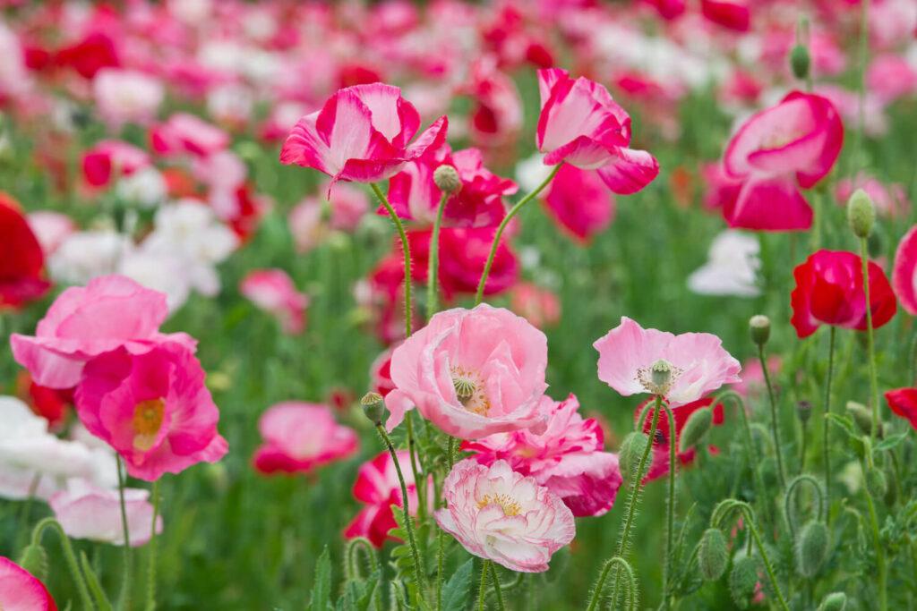Amapolas rosas