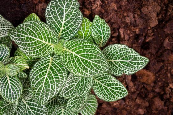 Mosaikpflanze: Standort, Pflege Vermehren