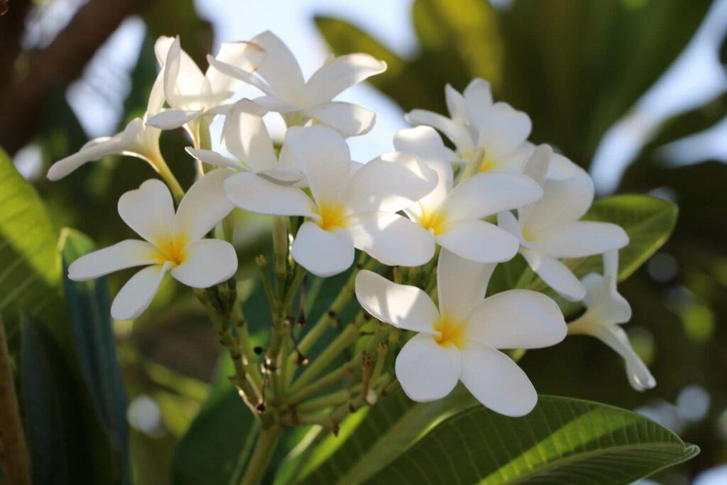 Plumeria-Pflanze