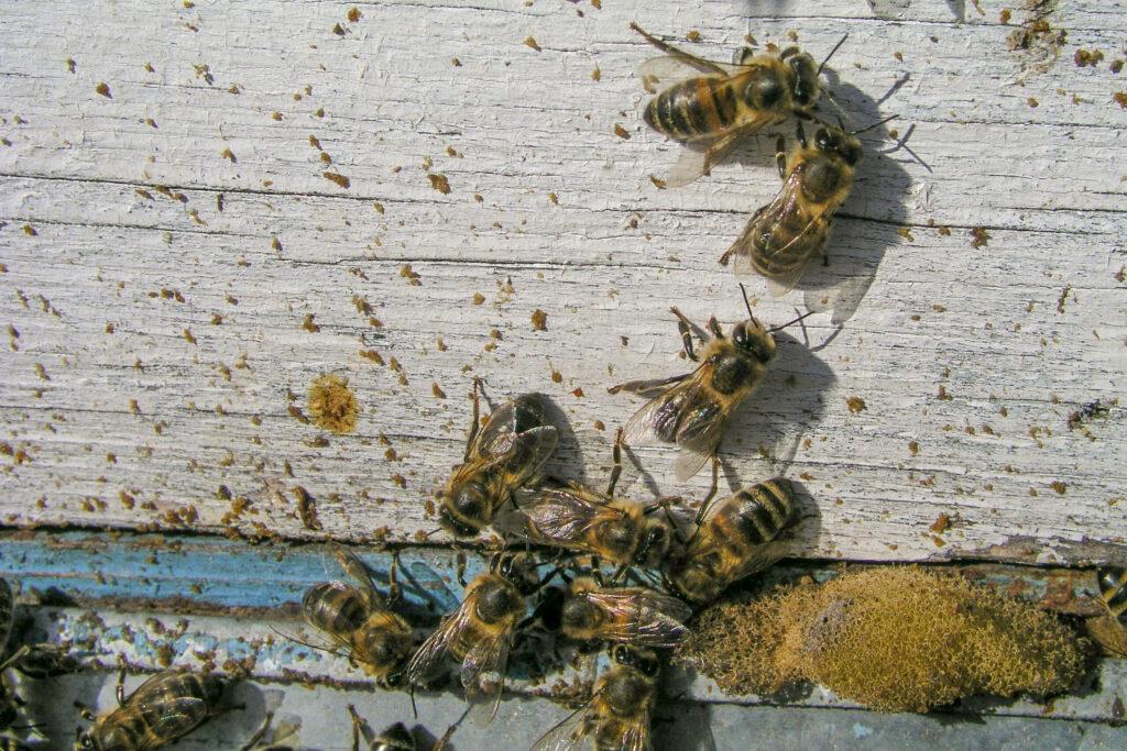 Bienenkot am Bienenstock