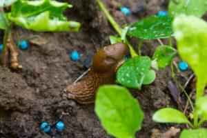 Schneckenkorn: Wirkweise, Anwendung & Giftigkeit