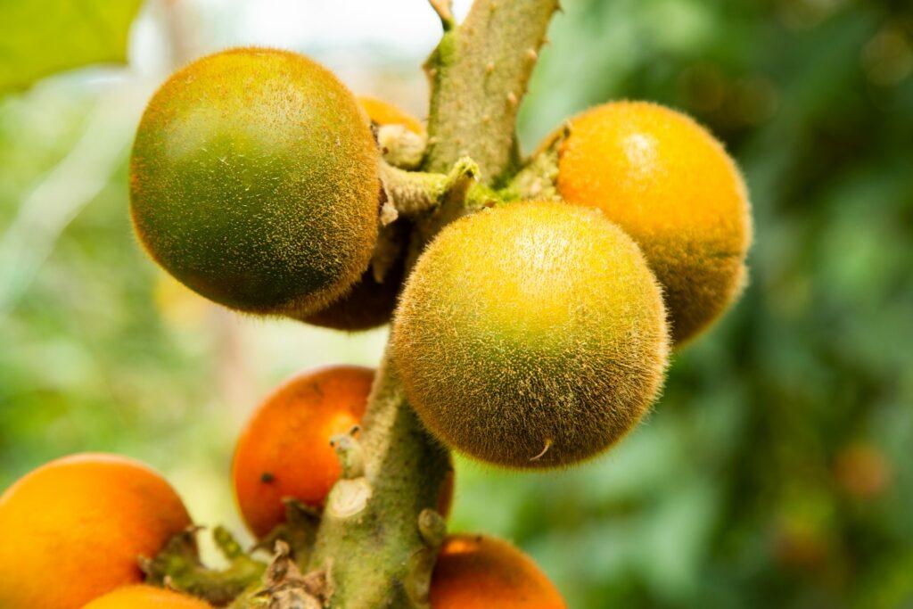 Frucht der Lulo