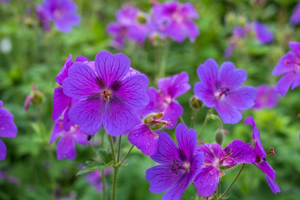 geranium sorten