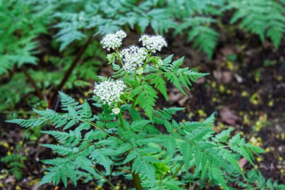 Süßdolde: Standort, Pflege Verwendung von Myrrhis odorata