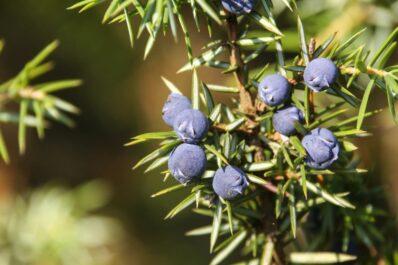 Wacholder: Anpflanzen, Schneiden & Ernte von Juniperus