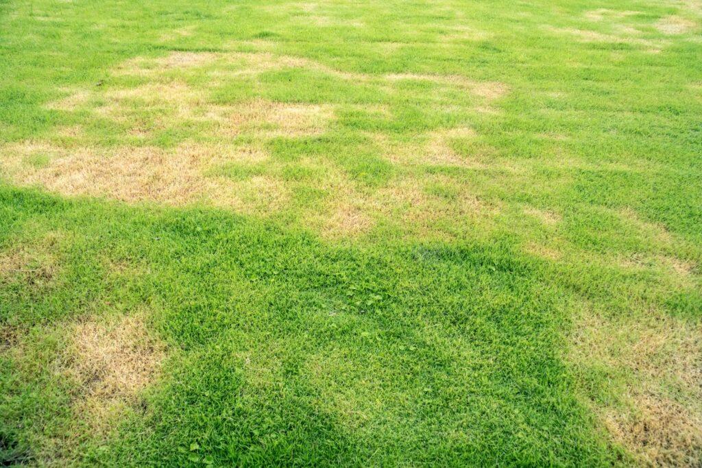 Anzeichen Wiesenschnaken im Rasen
