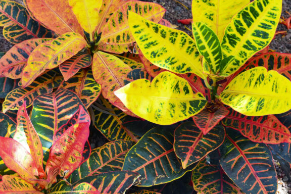Kroton: Pflege, Blüte & Vermehrung des Wunderstrauchs