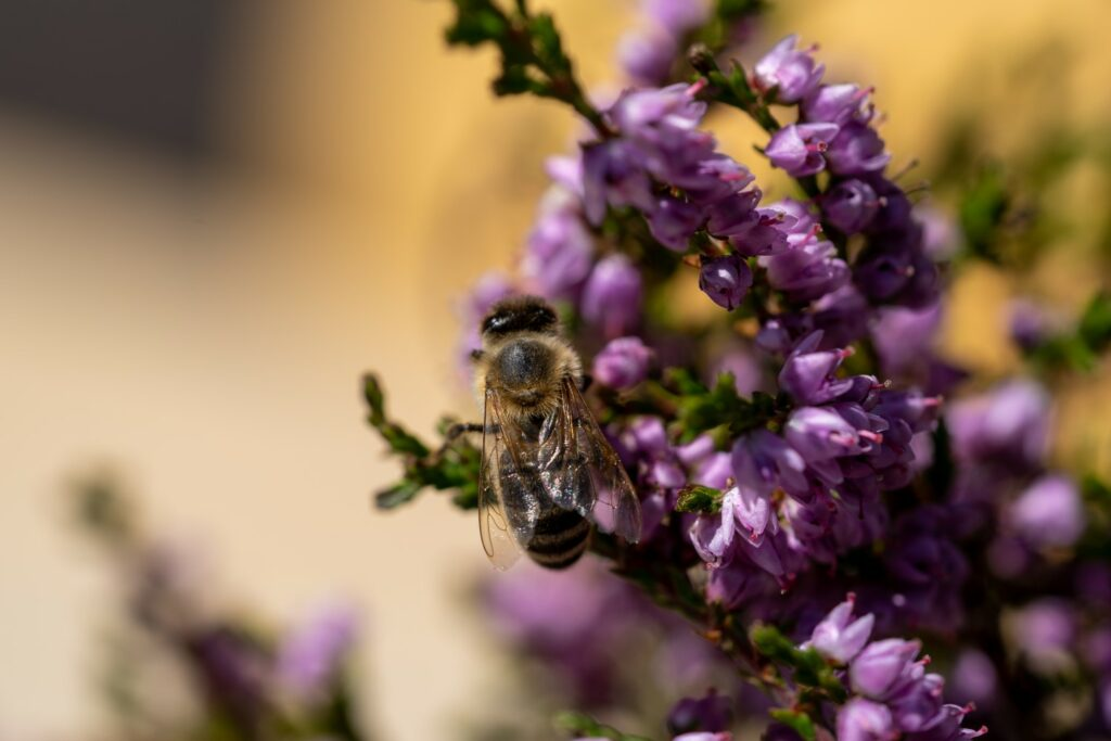 Biene auf Besenheide