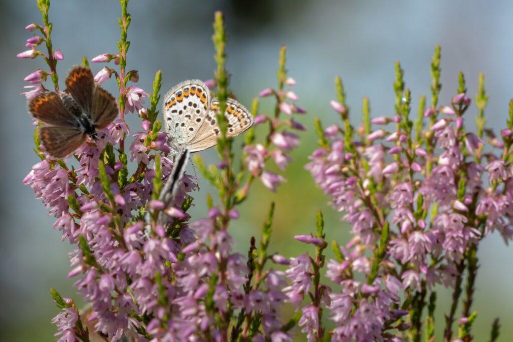 Schmetterlinge auf Besenheide