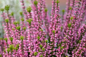 Besenheide: Pflanzen, Pflege & Überwintern