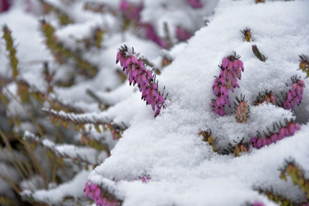 Besenheide mit Schnee bedeckt