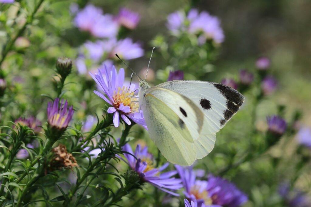 Schmetterling an Herbstaster