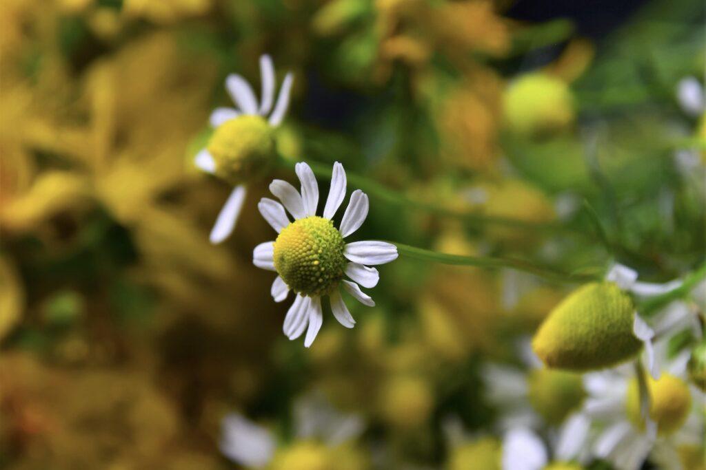 Blüte der Kamille