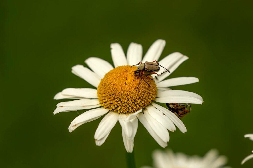 Blüte der Echten Kamille