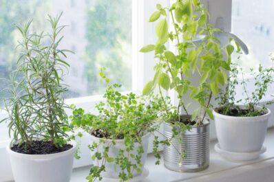 Kräuter für die Fensterbank: Die besten Küchenkräuter für drinnen