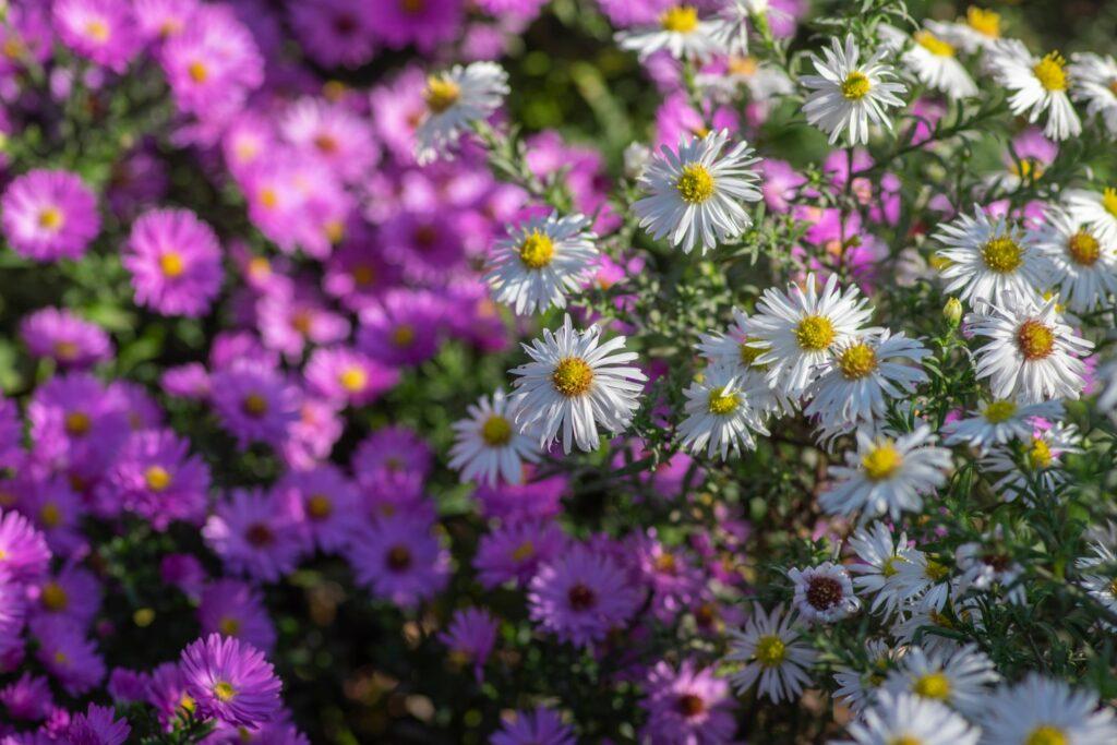 weißblühende Myrten-Aster