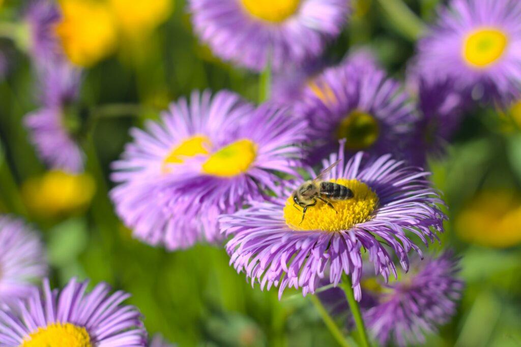 violette Raublatt-Aster