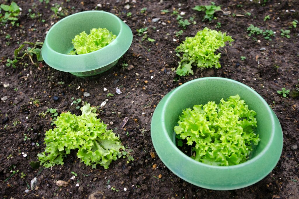 Schneckenkragen um Salate