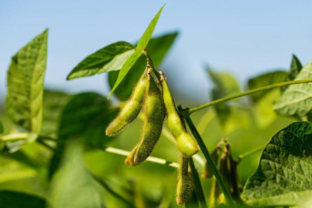 Sojabohnen an Pflanze