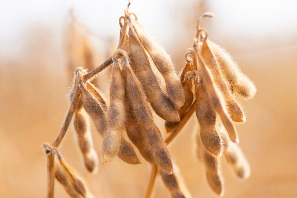 trockene Sojabohnen-Hülse