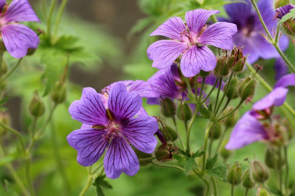 Storchschnabel-Blüten