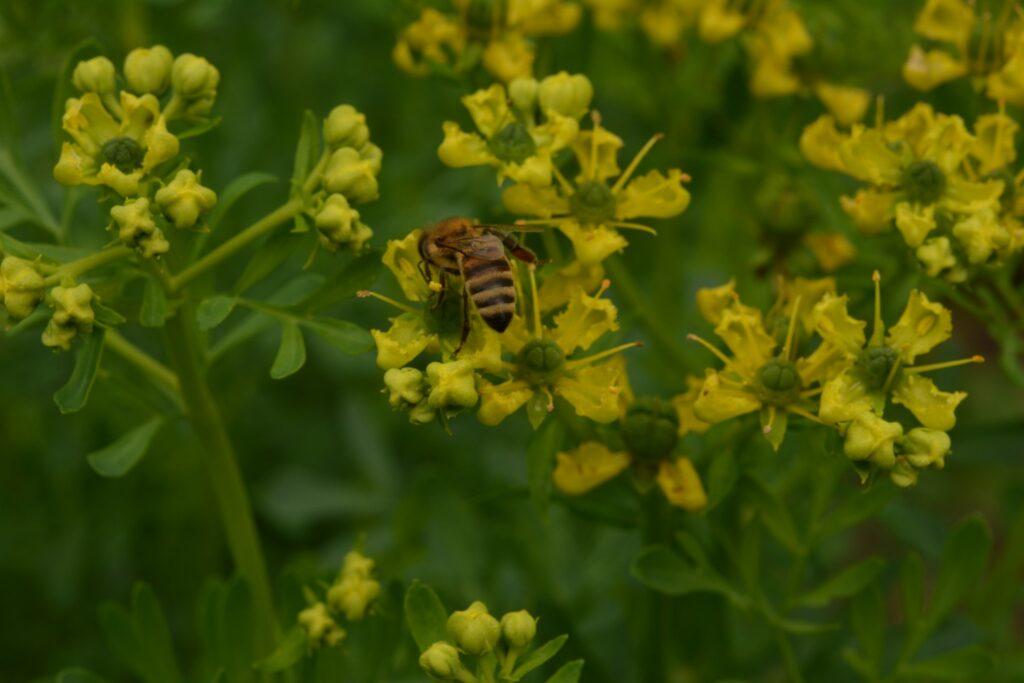 Weinraute mit Biene