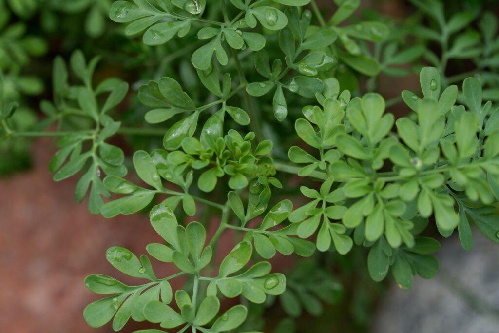 Gartenraute