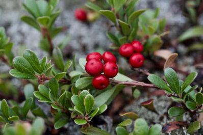 Bärentraube: Pflanzen, Wirkung & Verwendung als Heilpflanze