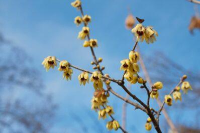Chinesische Winterblüte: Standort, Pflege & Vermehrung