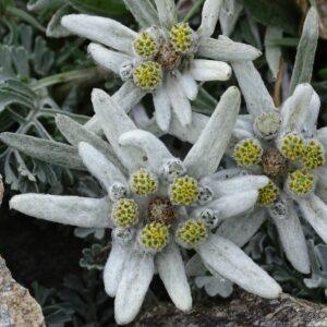 Edelweiß: Die Alpenblume im Garten pflanzen