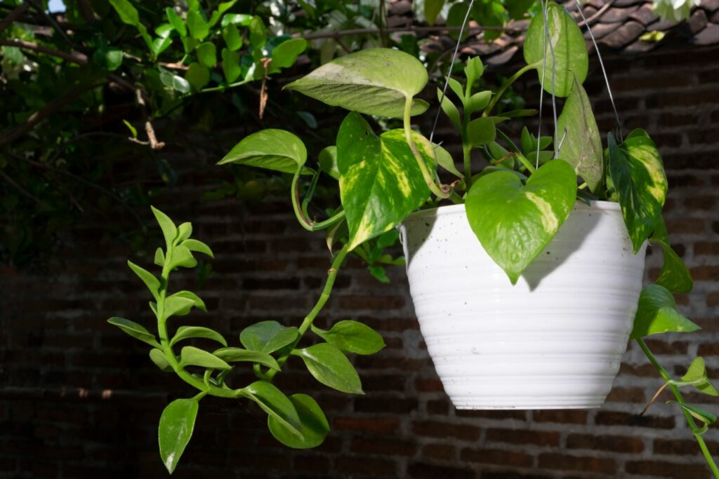 Efeutute als Hängepflanze