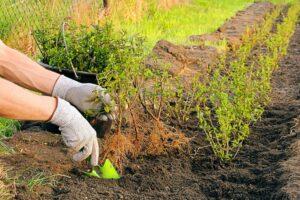 Hecke pflanzen: Zeitpunkt, Abstand & Anleitung zum Vorgehen