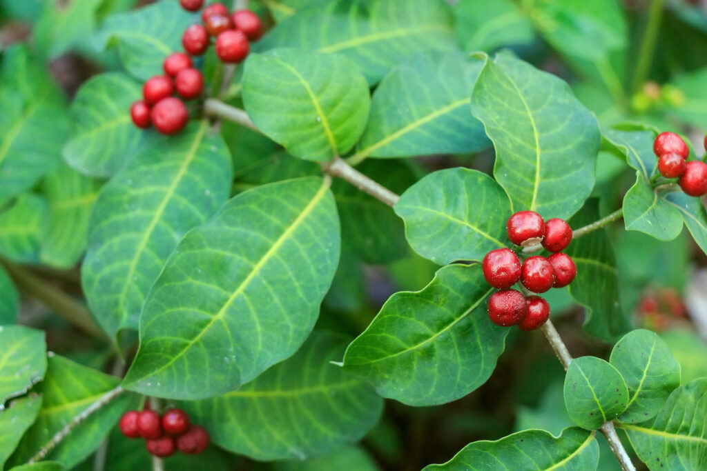 Kaffeebaum-Früchte