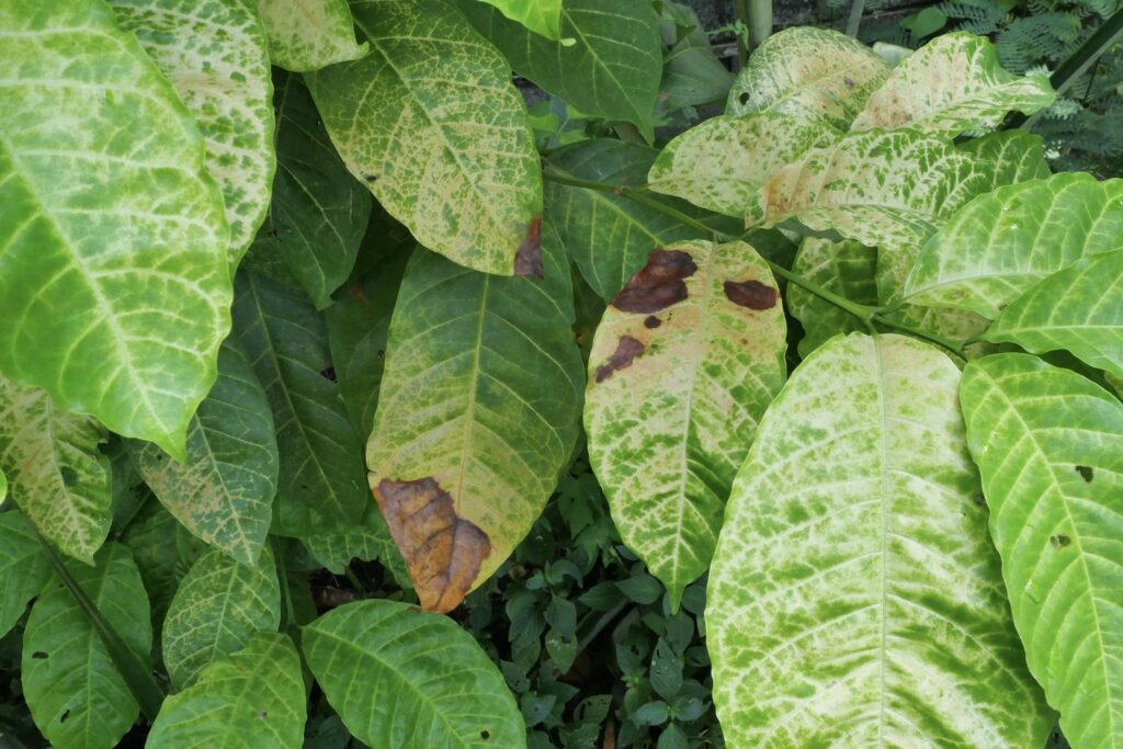 Kaffeepflanze mit braunen Flecken